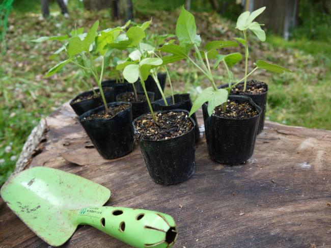 立派に育ってくれた苗を地植えしていきます。